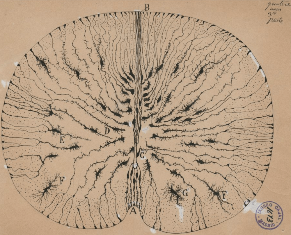 Santiago Ramón y Cajal, Glial cells of the mouse spinal cord, 1899. Ink and pencil on paper, 5 7/8 x 7 1/8 in. Cajal Institute (CSIC), Madrid