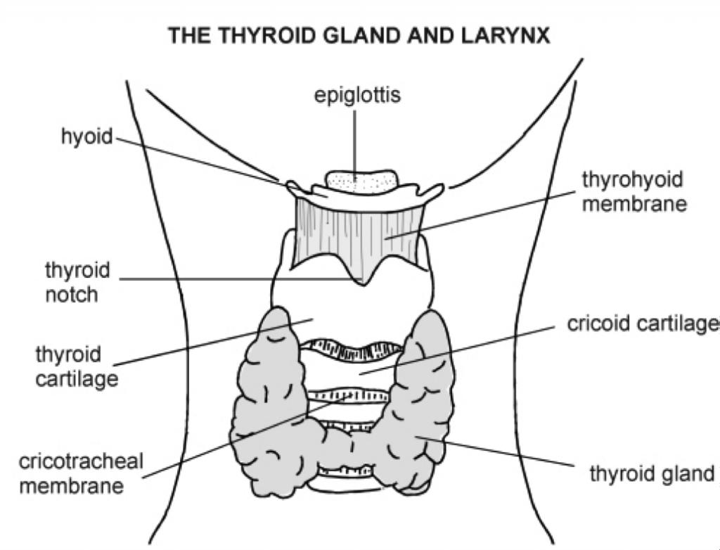 thyroid gland diagram labeled