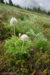 Puffballs on the way to Kitling