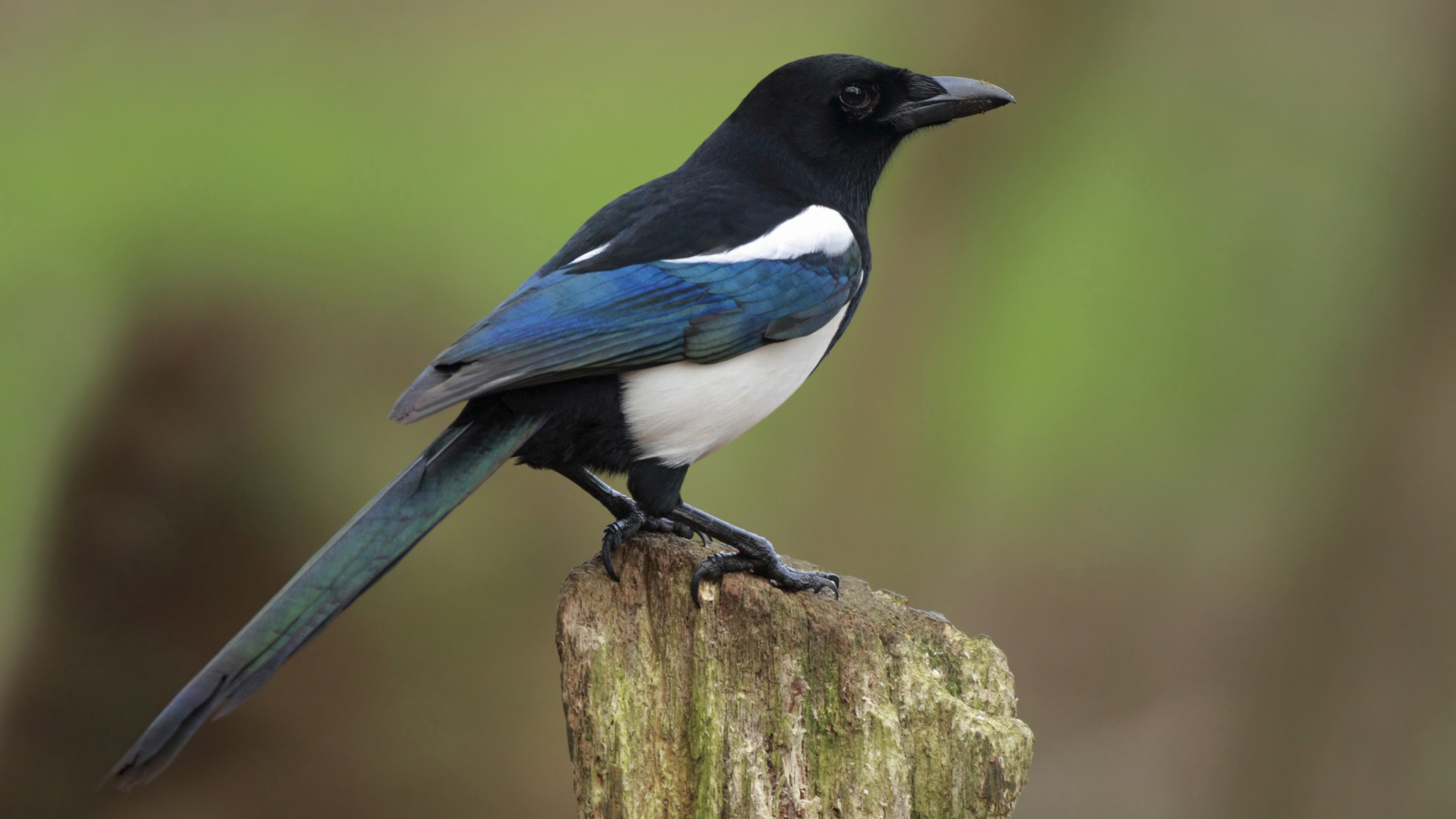 Afbeelding Vlaamse Gaai The Meaning And Symbolism Of The Word - Magpie