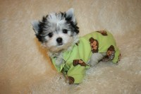 Yorkie Boy Clothes Photo - 1 | Dress The Dog - clothes for ...
