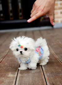 Teacup Maltese Clothes | Dress The Dog - clothes for your ...