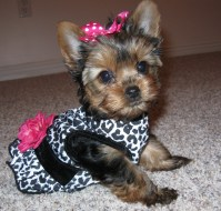 Teacup Yorkie Clothes | Dress The Dog - clothes for your pets!