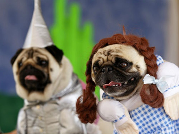 Cute Baby Pig Wallpaper Pugs Dressed As Movie Characters For Halloween Photos