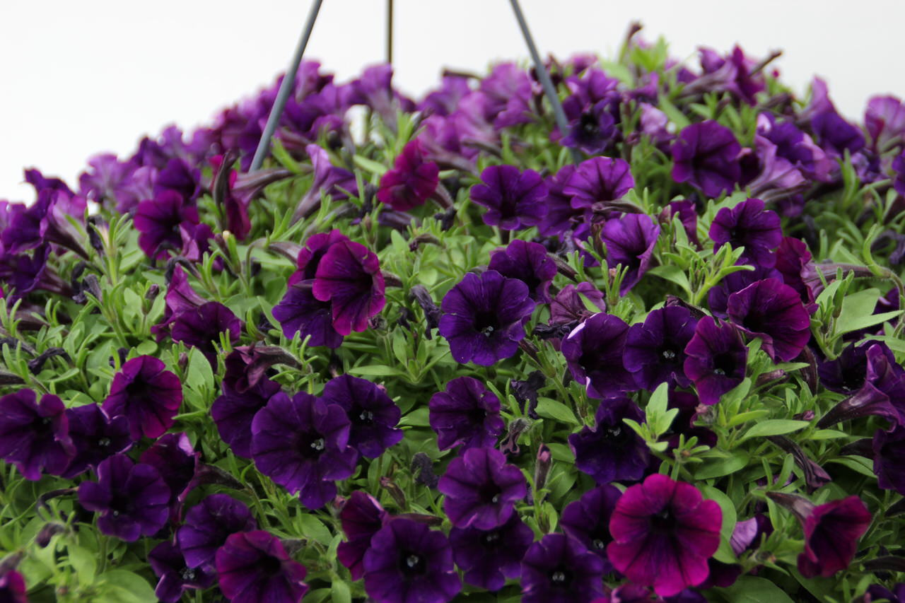 Verzorging Petunia Grape Ice Kwekerij André Den Drijver