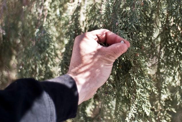 Churchill Vineyards Juniper trees