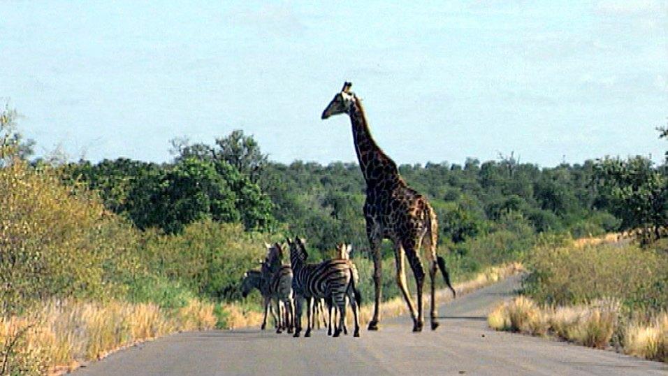 Giraffe und Zebras im Krüger Park in Südafrika. Bild: HR