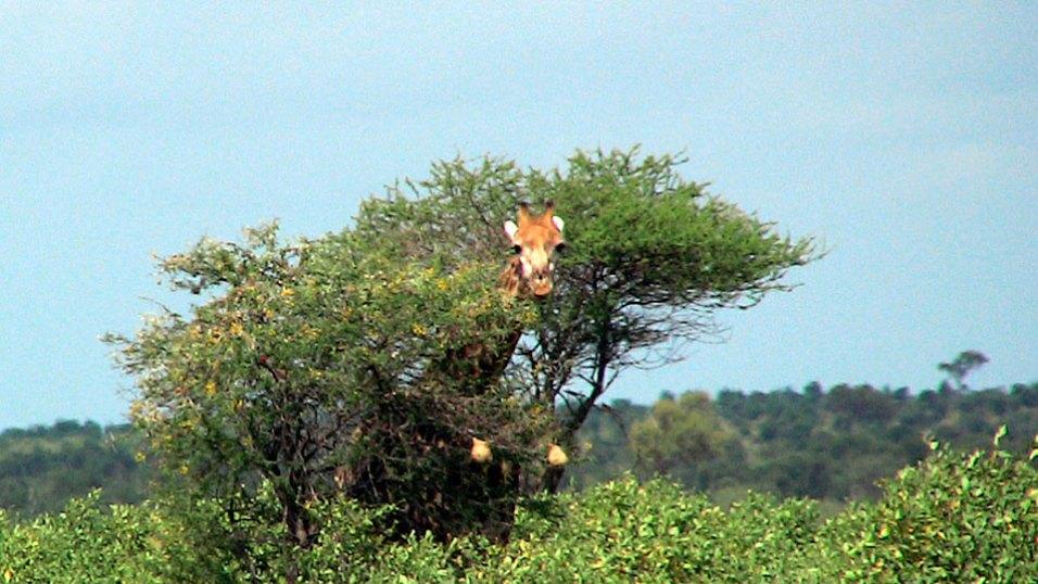 Im Krüger Park in Südafrika: Eine Giraffe schiebt den Kopf durchs Geäst einer Akazie. Bild: HR