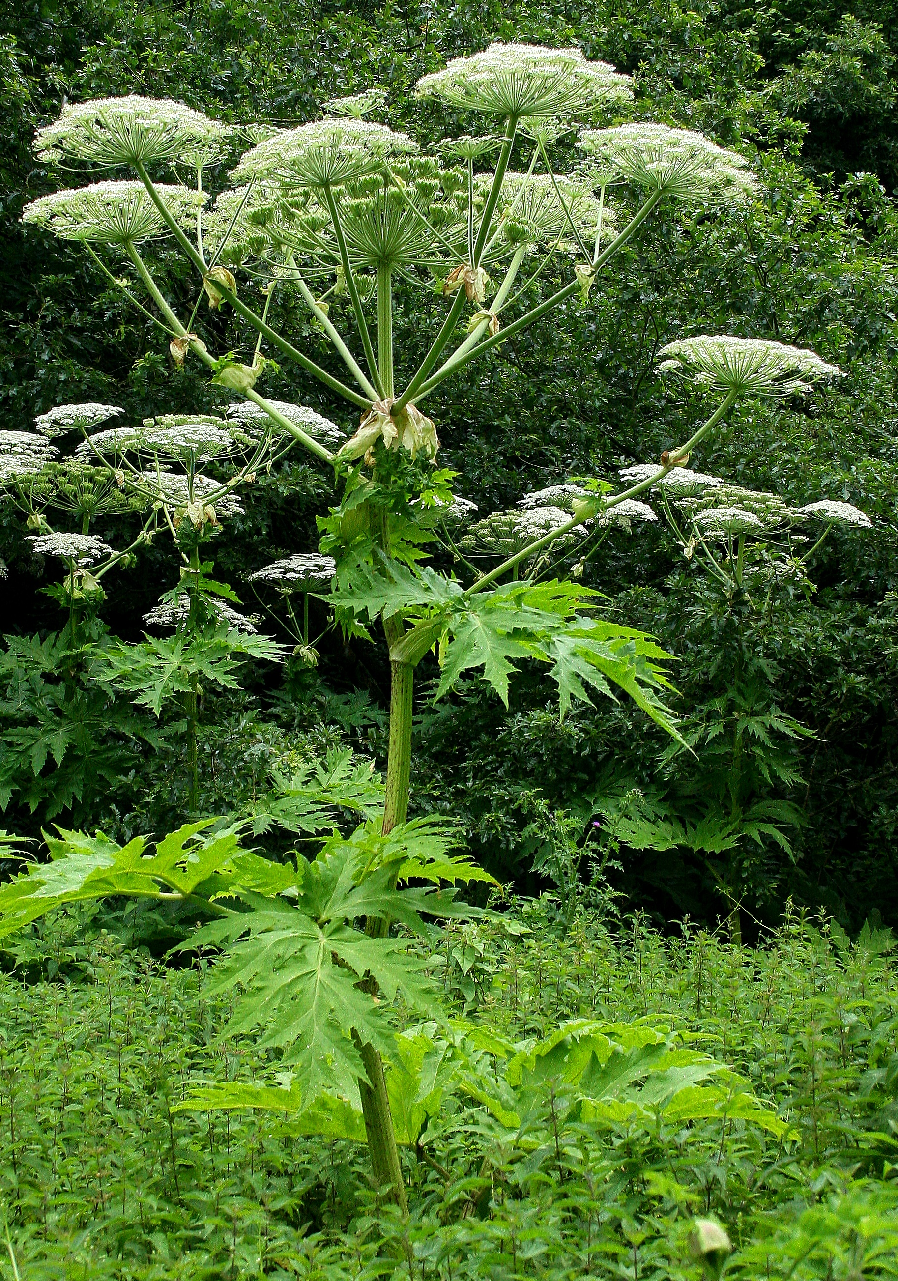 Giant Hog Weed Giant Hogweed: A New Contribution To Understanding This