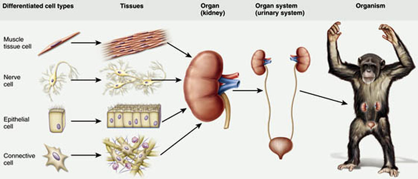 Cells, tissues and organs - Dr Randall Science