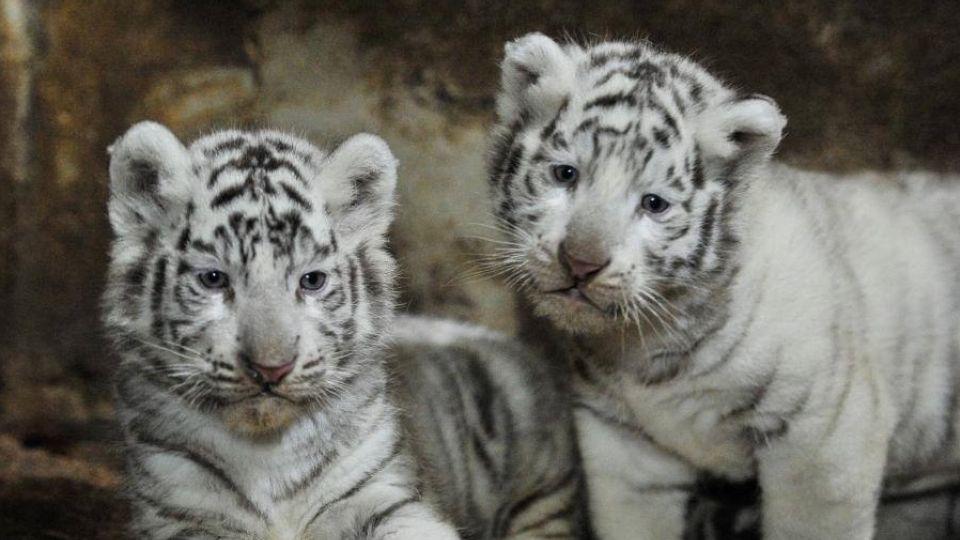 Cute Baby Blue Eyes Wallpaper Internettet Smelter Over Nuttede Hvide Tigerunger Tv 2