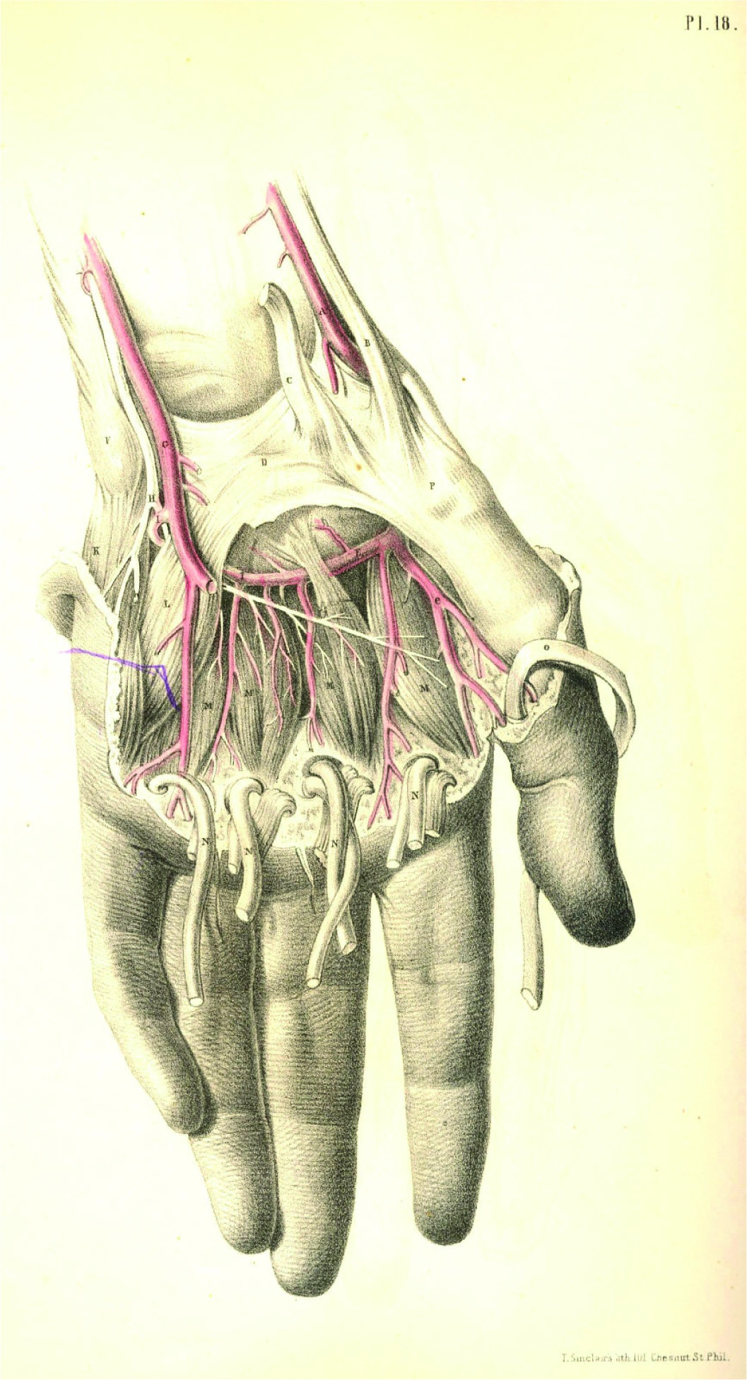 surgical anatomy (1851) | dry toasts
