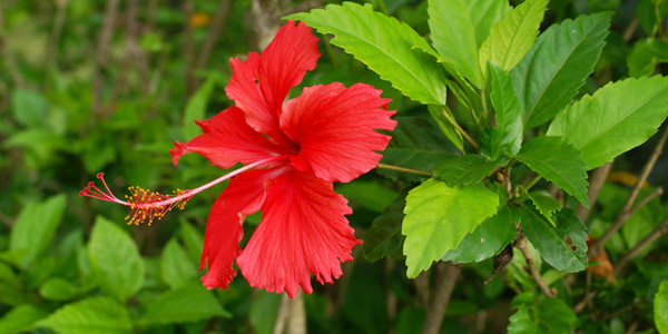 Hibiscus Flower Benefits For Hair Hair Care Tips – Dsmartpoint