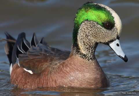 Hd Oregon Ducks Wallpaper American Wigeon Types Of Ducks Amp Geese
