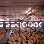 Harga ayam umur sehari (day old chick/DOC) pada minggu ketiga Februari 2016 turun sekitar 15%-25% dibanding akhir 2015.