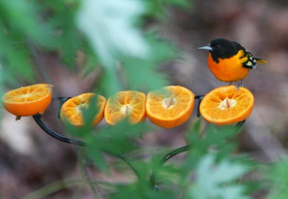 tips to attract orioles to your yard