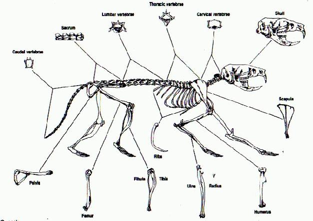 rat skeleton diagram
