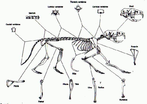 rodent skeleton diagram skeleton of a rat