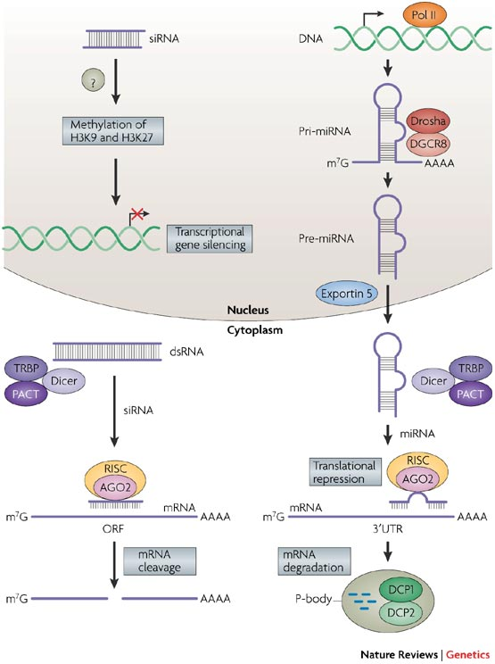 Duchenne Muscular Dystrophy Gene Discovery Rna Interference. Causes, Symptoms, Treatment Rna Interference