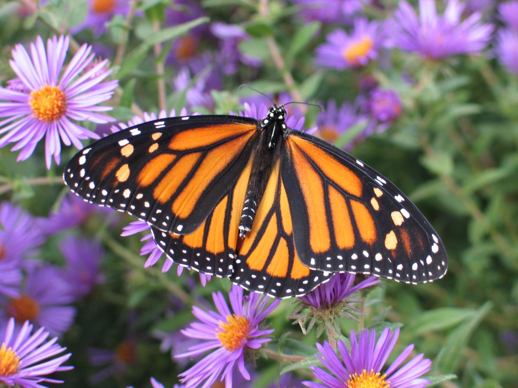 Fall Daisy Wallpaper Warning The Monarch Butterfly Is Threatened Dyck Arboretum