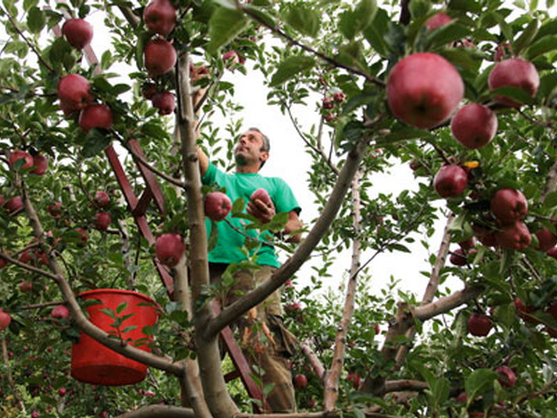 Χίλιοι αλλοδαποί μαζεύουν μήλα στη Ζαγοράμε μεροκάματο 35 έως 40 ευρώ