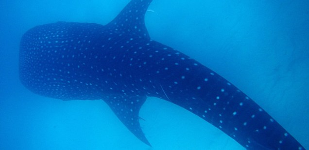 Swimming with the Whale Sharks in Oslob