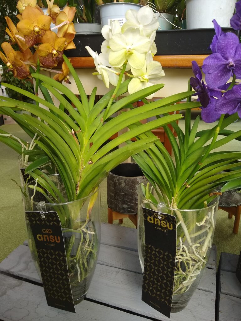 Vanda Orchids Earlswood Garden Centre Cafe Guernsey