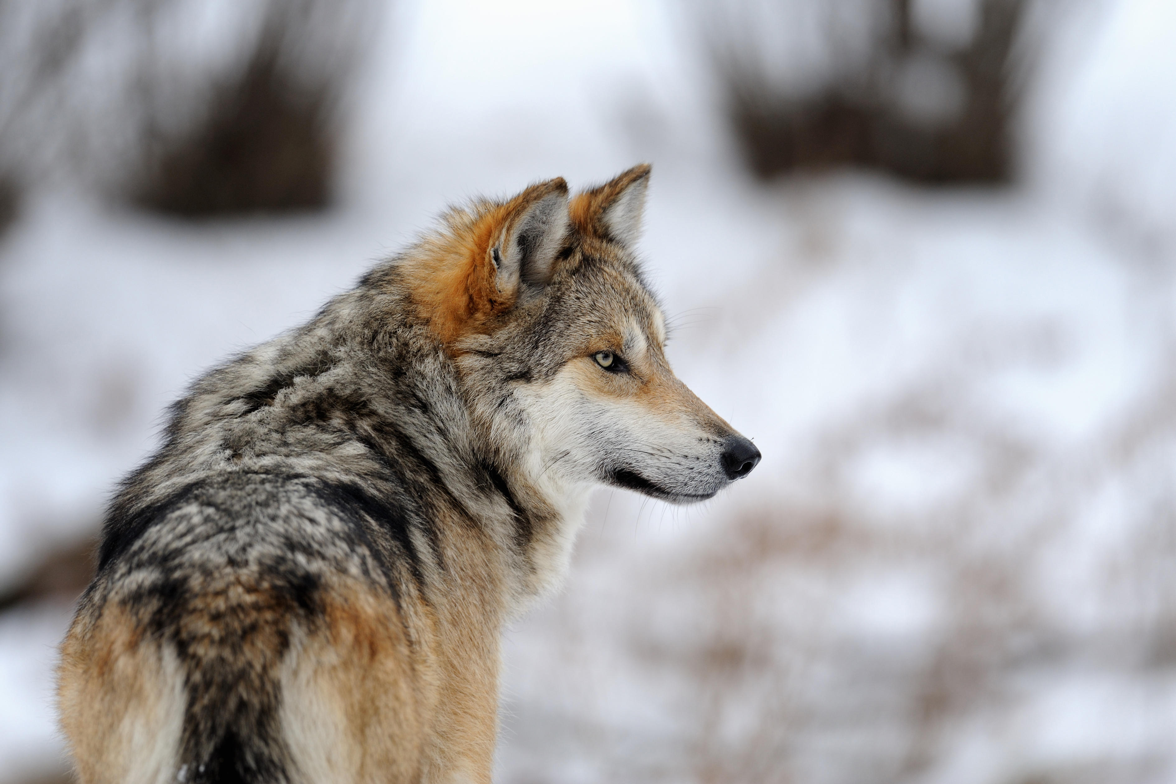Animal Face Wallpaper Mexican Gray Wolf Recovery Left To Politics Rather Than