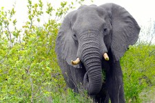"""<span class=""""entry-title-primary"""">ElephantTusks Do Not Just Drop Out</span> <span class=""""entry-subtitle"""">Virginia McKenna: BFF of the Pachyderm</span>"""