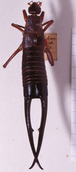 Gumwood The Giant Earwig Of St. Helena Labidura Herculeana