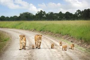 lion-family-masai-mara-kenya-nikon-d700-18-200mm-david-lazar