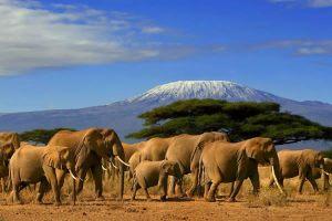 elephants-amboseli-Kilimanjaro-background-safari