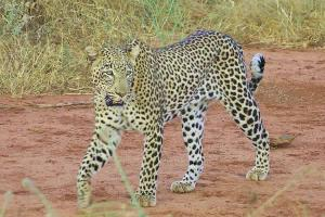leopard-in-tsavo-west-national-park-kenya-safari