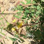Kasamarda: Cassia occidentalis Uses, Research, Side Effects