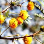 Irimeda, Arimeda, Acacia farnesiana: Uses, Dose, Side Effects