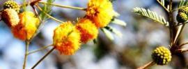 Acacia Farnesiana flowers