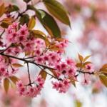 Padmaka – Prunus cerasoides: Uses, Dose, Research, Side Effects