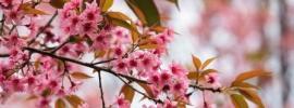 Wild Himalayan Cherry - Padmaka