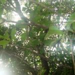 Indian Oak Tree: Barringtonia acutangula Uses, Research, Side Effects