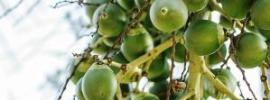 green betelnut
