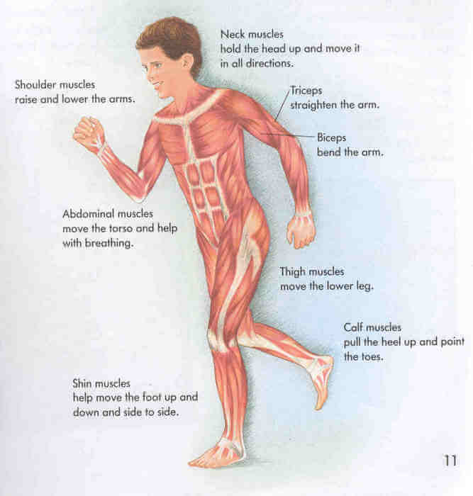 Muscle Facts for Kids