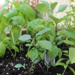 Container herb gardens are a great way to save money and have a garden without digging up your yard. Check out the info on which herbs grow well together