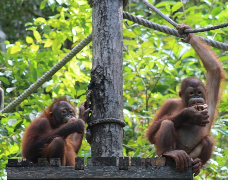 Feeding time for toddler orangutans at the Shangri La Rasa Ria Resort in Sabah