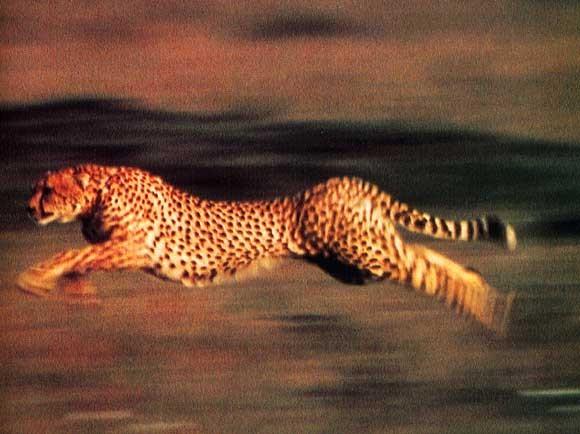 Jaguar Animal Wallpaper Ecole Les Jeunes Pousses Le Plus Rapide Des F 233 Lins Le
