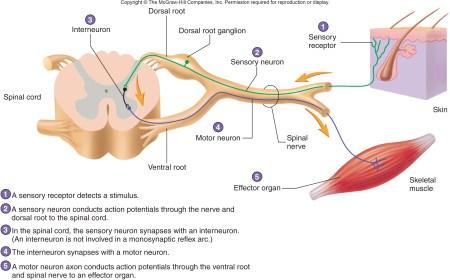 Receptors And Effectors Of Palatal Reflex