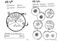 Cell Cycle and Mitosis coloring sheet by Scientifically ...