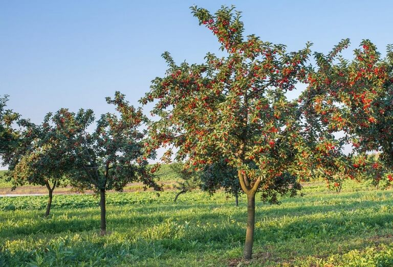 Bing Hd Wallpaper Fall How To Grow A Healthy Bing Cherry Tree For Tasty Fruit