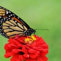 Why are Monarch Butterflies Dying? Roundup