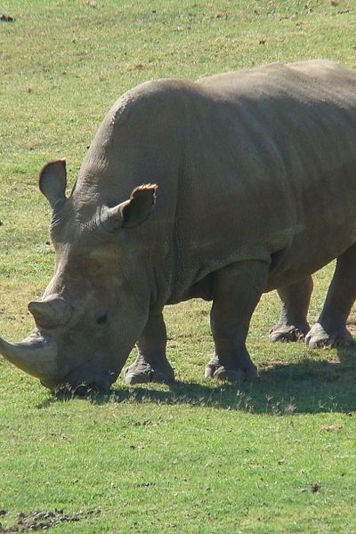 Endangered Species:  Only 5 Northern White Rhinos Remain