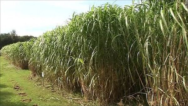 Bio-fuel genetic map breakthrough with miscanthus.